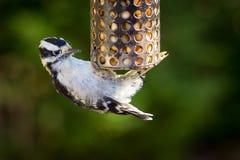 垂悬金属饲养者的底部的共同的啄木鸟 库存图片
