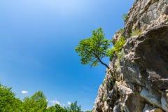垂悬从在山的岩石的偏僻的树 免版税库存图片