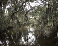 垂悬从小橡树树的寄生藤 免版税库存照片