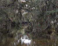 垂悬从小橡树树的寄生藤 免版税库存图片