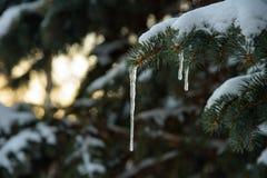 垂悬从杉树分支的冰柱特写镜头在日落 免版税库存图片
