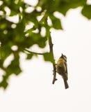 垂悬从枝杈的蓝冠山雀 库存照片