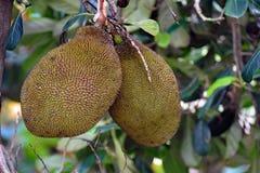 垂悬从树的两个波罗蜜在种植园 免版税库存照片