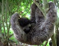 垂悬从树的怠惰 免版税库存图片
