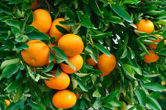 垂悬从树的成熟蜜桔 免版税图库摄影