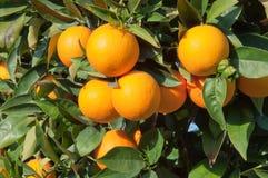 垂悬从树的成熟蜜桔 库存图片