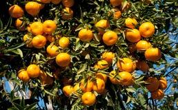 垂悬从树的成熟蜜桔 免版税库存图片