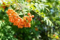 垂悬从树的橙色果子 免版税库存照片