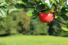 垂悬从树的红色苹果 免版税库存照片