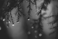 垂悬从树的雨下落 免版税库存照片