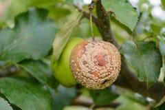 垂悬从树的Mouldet苹果 库存图片