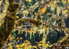垂悬从橡树的青苔在秋天分支 库存照片