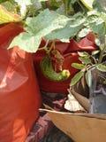 垂悬从的黄瓜生长袋子 免版税库存照片