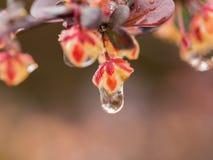 垂悬从红色叶子的水滴 免版税库存照片