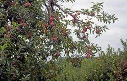 垂悬从肢体的特写镜头苹果 库存图片