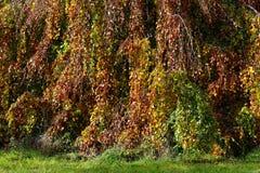 垂枝的山毛榉树秋天五颜六色的叶子背景 库存图片