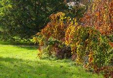 垂枝的山毛榉树秋天五颜六色的叶子背景 免版税库存图片