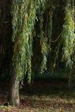 垂柳树在晴朗的秋天天 库存图片