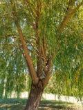 垂柳树里面 免版税库存图片