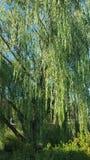 垂柳树 免版税库存照片