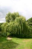 垂柳树 库存图片