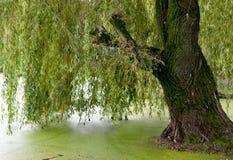 垂柳树 库存照片