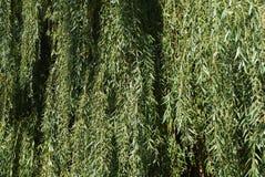 垂柳背景-叶子,叶子 免版税库存照片