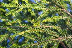 垂直云杉的分支 免版税图库摄影