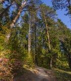 垂直的全景足迹在森林里 库存图片
