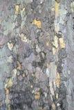 垂直的法国梧桐树皮纹理 库存照片