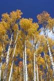 垂直的白杨木 免版税库存照片