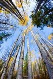 垂直秋天的结构树 库存照片