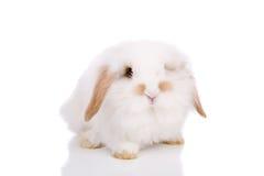 垂耳的兔宝宝 免版税图库摄影