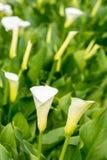 垂直的取向白色水芋属自温室开花有被弄脏的背景 免版税库存照片
