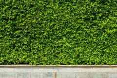 垂直的庭院绿色留下墙壁 免版税库存图片