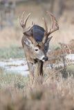 垂直的照片一个大白尾鹿大型装配架 库存图片