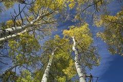 垂直的秋天亚斯本树树顶视图  库存图片