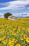 垂直的风景用向日葵 免版税库存图片