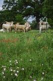 垂直:得克萨斯草甸、野花和母牛 免版税库存图片