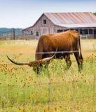 垂直:长角牛在野花草甸吃草 图库摄影