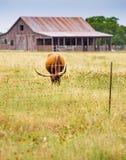 垂直:长角牛在野花草甸吃草 库存照片