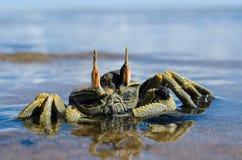 垫铁被注视的鬼魂螃蟹 库存照片