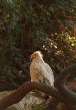 埃及兀鹫percnopterus雕 库存照片