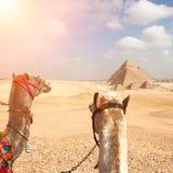 埃及开罗-吉萨棉 图库摄影