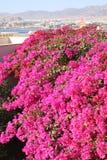 埃及开花粉红色 免版税库存图片