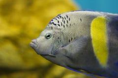 埃及水族馆 黄貂鱼 非洲国家 库存照片