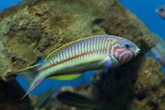 埃及水族馆 黄貂鱼 非洲国家 免版税库存照片