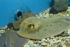 埃及水族馆 黄貂鱼 免版税图库摄影