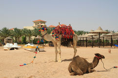 埃及海滩的骆驼 免版税库存照片