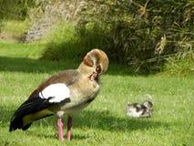 埃及雄鹅用幼鹅 库存图片